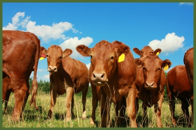 Liquid Cattle Feed Supplements